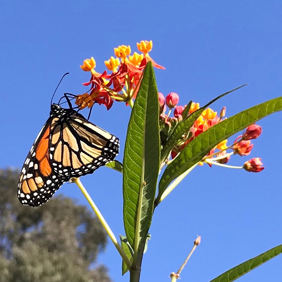 A monarch butterfly hangs onto a milkweed blossom. Photo courtesy of the author
