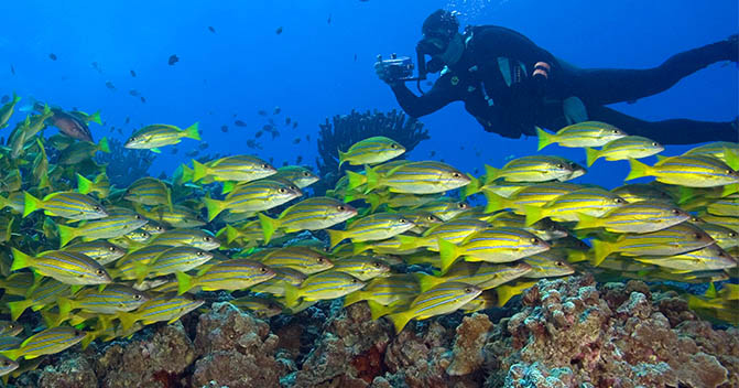 A scuba diver photographs a school of bluestripe snapper in the waters of Hawaii. The state's marine life is threatened by pollution, climate change, and overfishing.