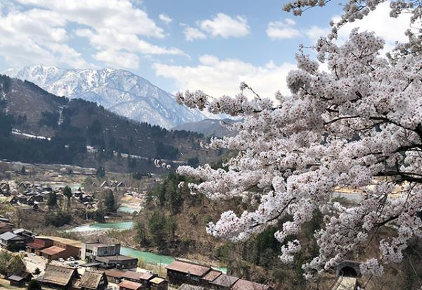 Cherry blossoms in Shirakawa-go, Japan.