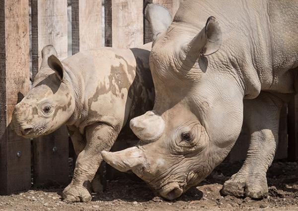 Eastern Black Rhino mother, Kibibbi, and her calf, Lulu at the Cleveland Metroparks Zoo in Ohio.