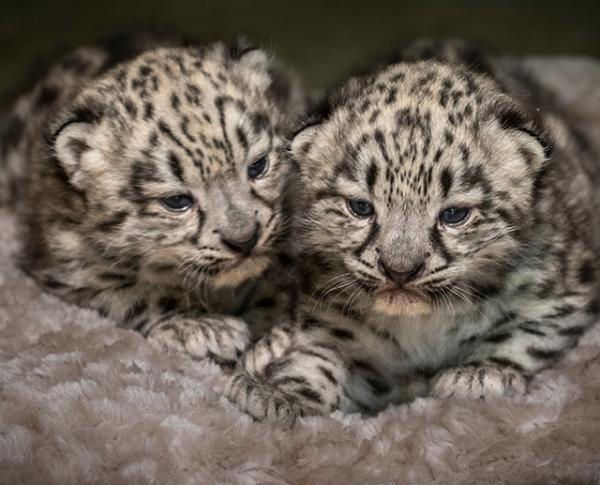 Baby snow leopards Meru and Merai at the Los Angeles Zoo