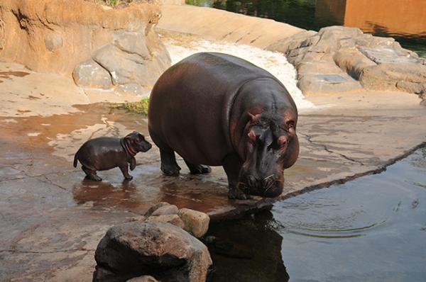 Winnie, a baby hippo, plays with her mother, Binti, at the Memphis Zoo.