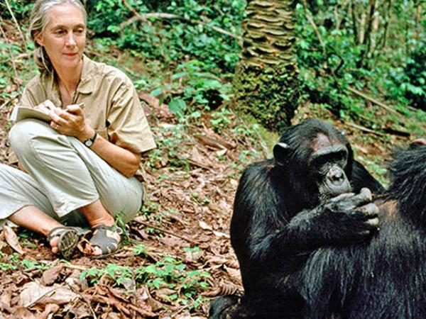 "Conservationist Jane Goodall, known around the world as ""Dr. Jane,"" studies chimpanzee behavior in Gombe Stream National Park in Tanzania in 1990."