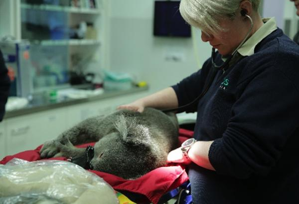 Tony being treated at the Healesville Sanctuary, photo courtesy of Zoos Victoria