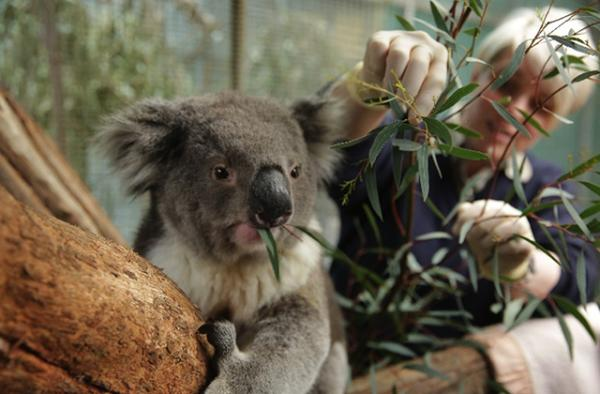 Tony the Koala, photo courtesy of Zoos Victoria