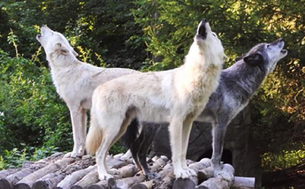 Zephyr, Alawa, Nikai, 3 Canadian Rocky Mountain gray wolves howling
