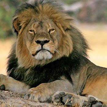Before his death in July 2015, Cecil the lion had been the subject of more than a decade of research. The lion lived in a game preserve in Zimbabwe.