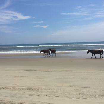 Wild horses on North Carolina's Outer Banks