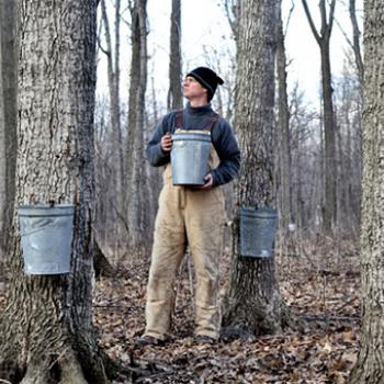 Maple trees must be at least 10 inches in diameter before they are tapped.