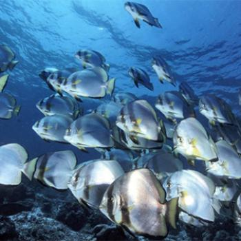 Batfish play a key role in eating algae that otherwise destroys coral reefs.