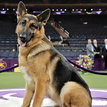 Rumor, a German shepherd, poses for photos after winning Best in Show at the 141st Westminster Kennel Club Dog Show.