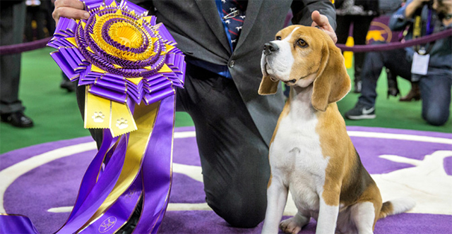 Miss P is the grandniece of Uno, the winner of the 2008 Westminster show.